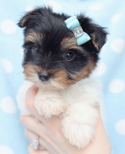 Biewer Yorkie Puppies For Sale Florida Biewer Yorkie Yorkie Yorkie Puppy