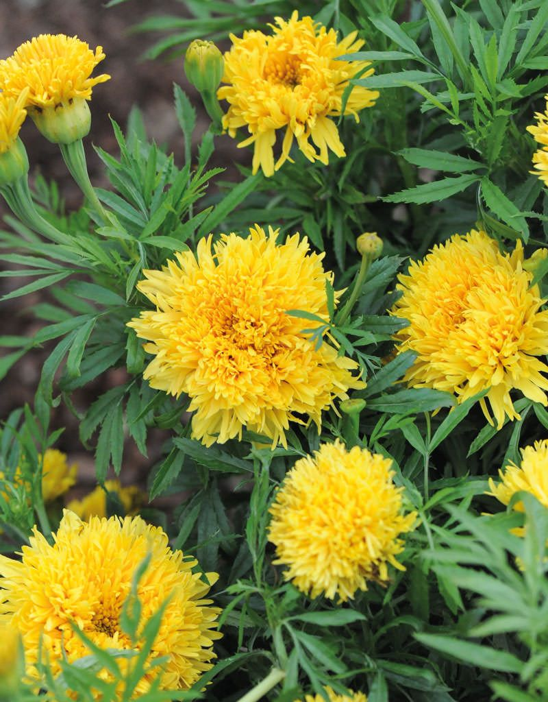Simba Yellow Annual Marigold Pinterest Marigold Tall Plants