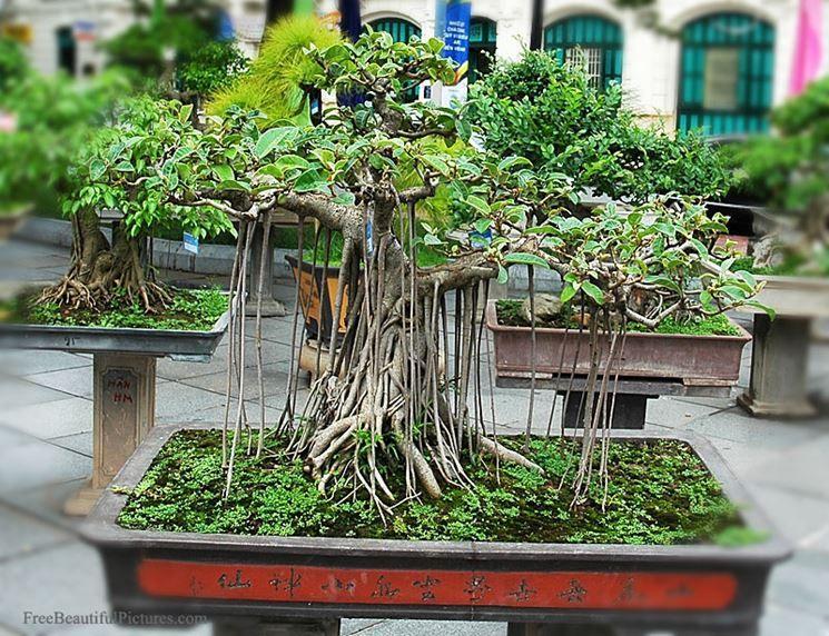 Ficus ginseng bonsai | Come curare questa pianta da ...
