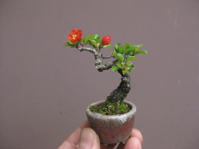 bonsai plants pinterest pflanzen und tr ume. Black Bedroom Furniture Sets. Home Design Ideas