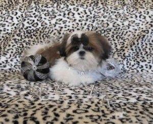 Lady Lula S Mum Photo Courtesy Of Karashishi Shih Tzu Shih Tzu Dog Shih Tzu Puppy