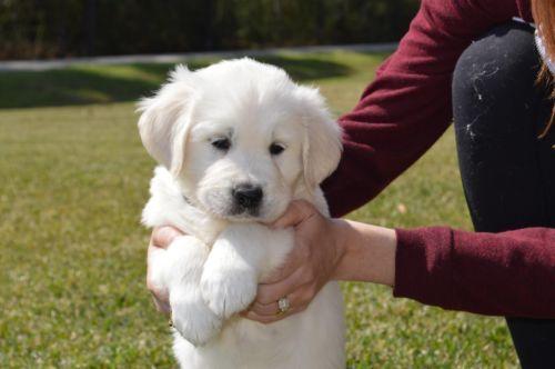Golden Retriever Pets Amp Animals For Sale In Houston Ebay