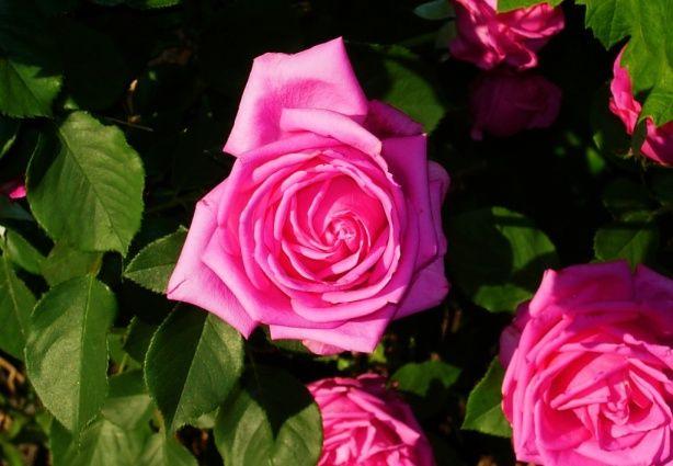 que la rosa en el rosal