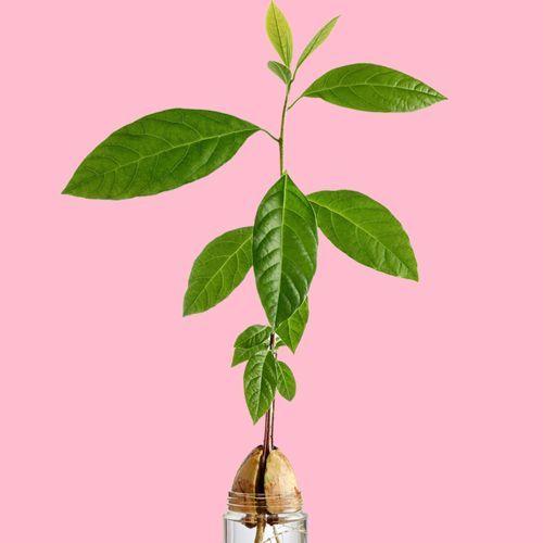 Vom Kern zur Avocadopflanze: So könnt ihr eine Avocado ziehen