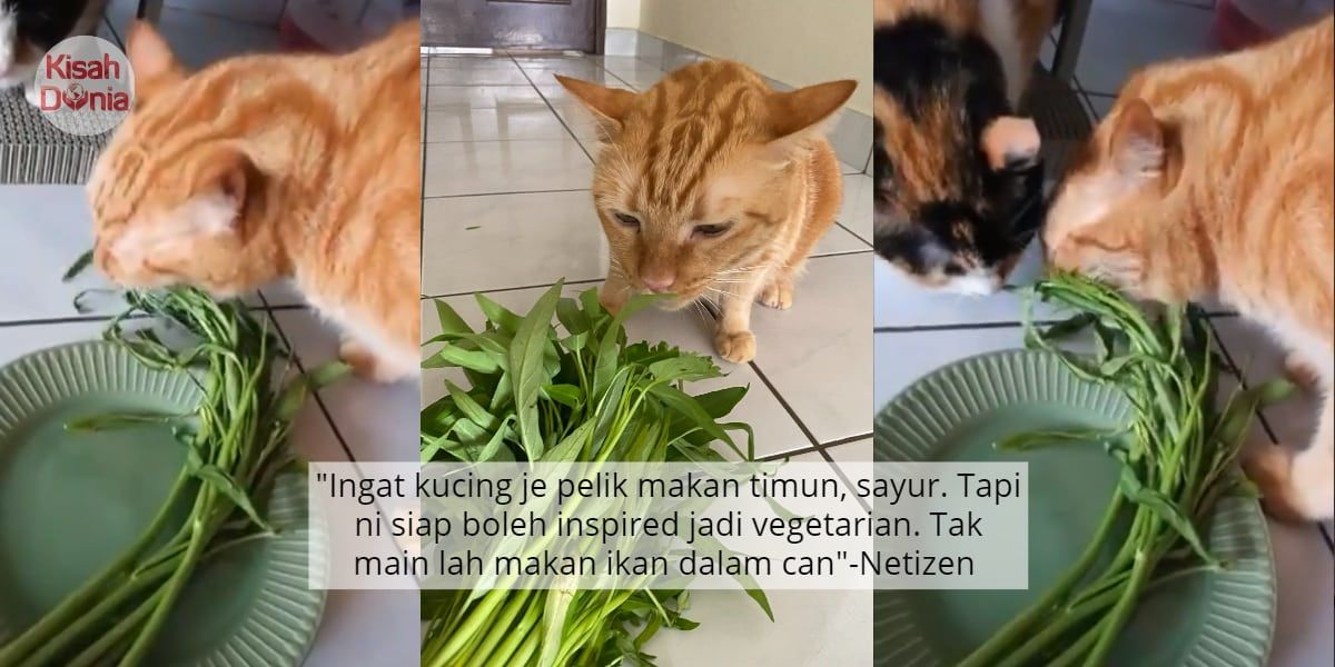 Video Kalah Tuan Jaga Badan Oyen Buat Hal Demand Makan Kangkung Jam 4 Pagi Animals Cats