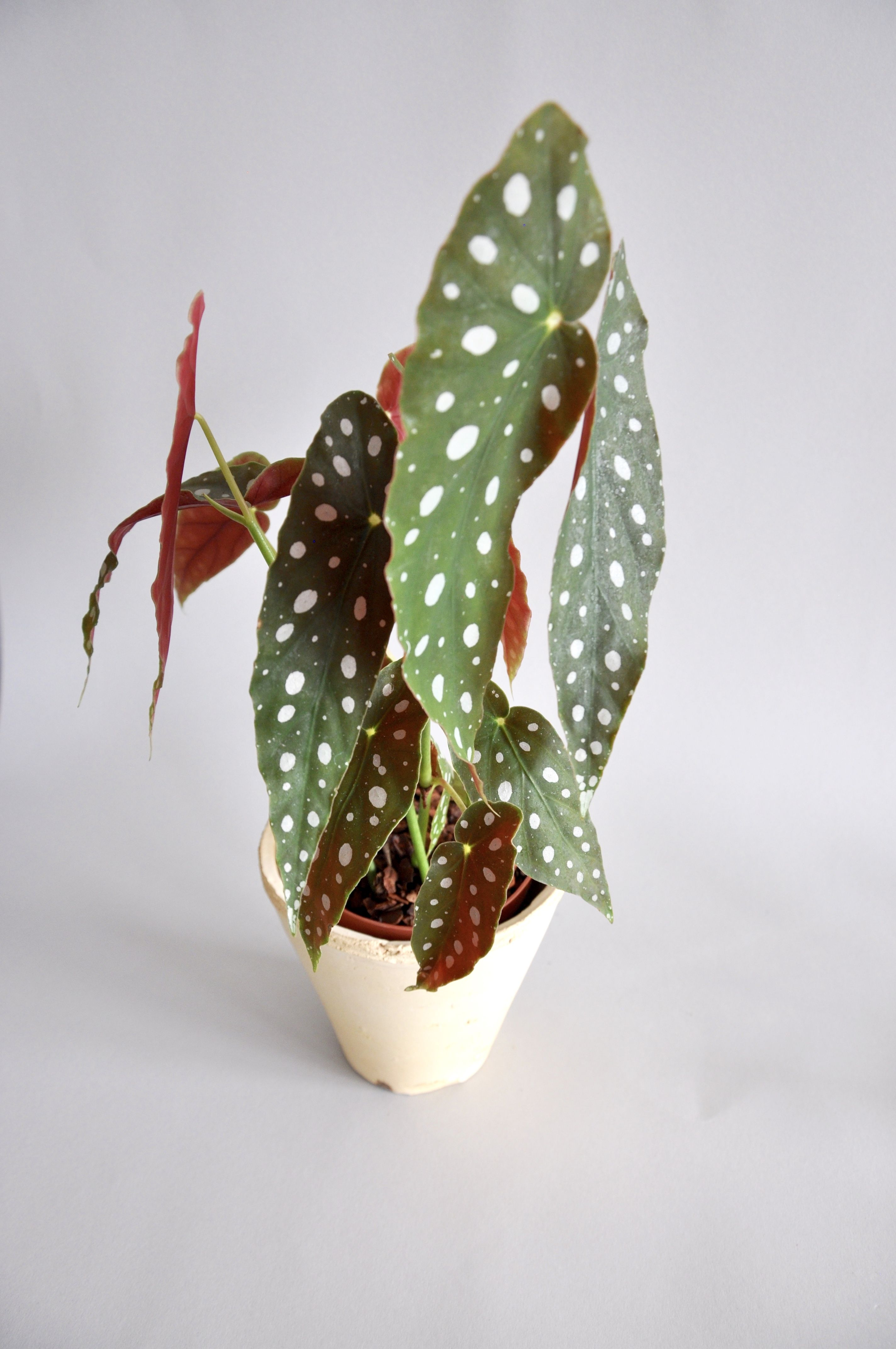 Begonia Maculata Wightii Also Known As Polka Dot Begonia With