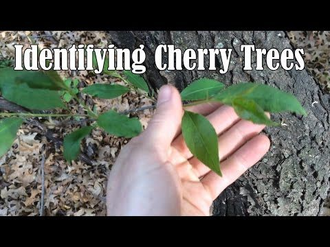 How To Identify Cherry Trees Cherry Trees Are Known For Their Beautiful Blossoms They Grow I Pepper Plants Plant Leaf Identification Tree Leaf Identification