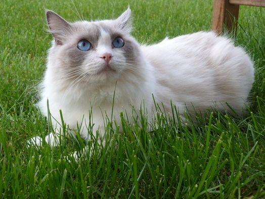 Cat - Ragdoll - Tsuki on www.yummypets.com