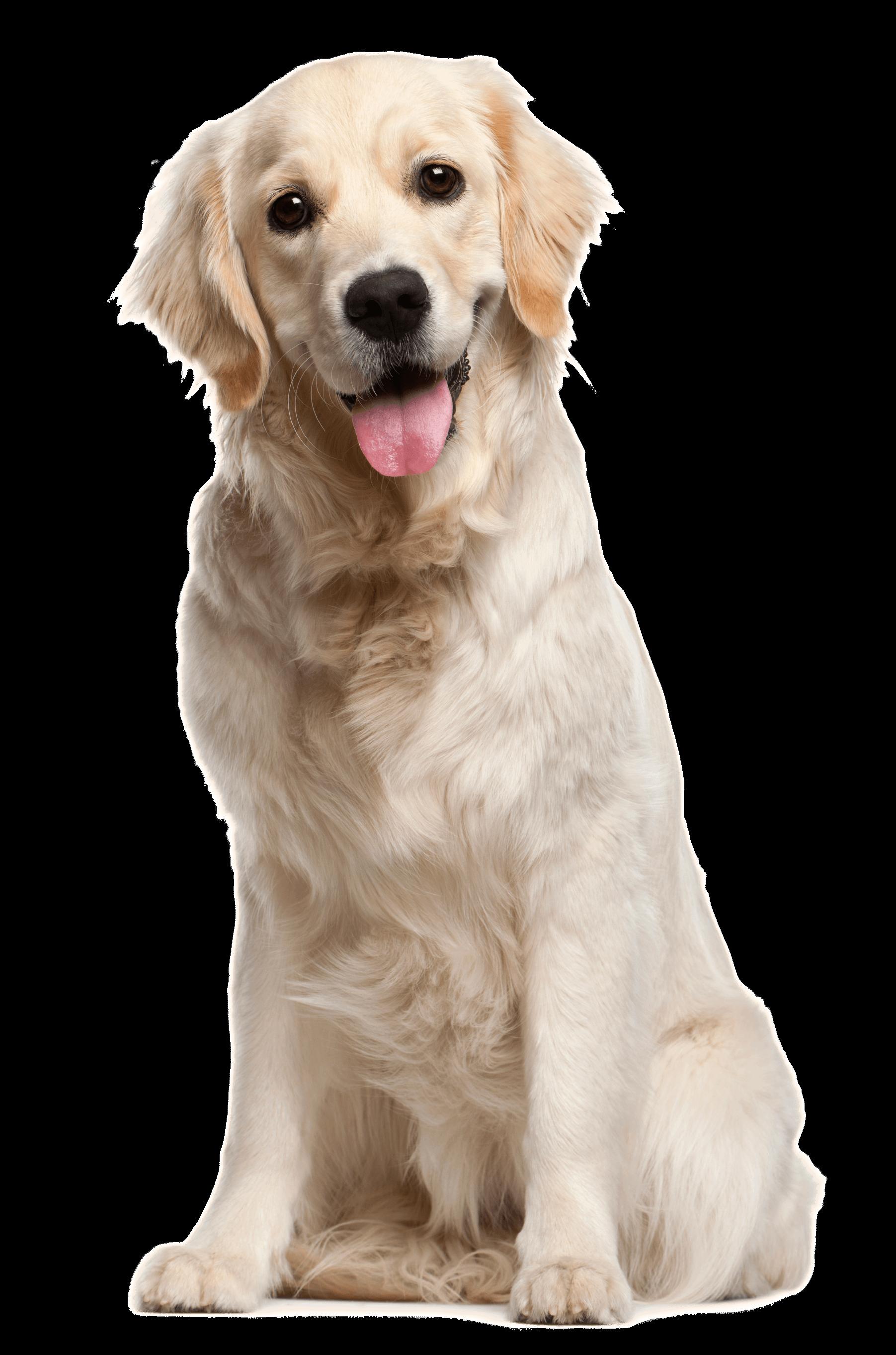 Golden Oldies Senior Light Dog Food Growling Tums Golden Retriever White Retriever Dogs Golden Retriever