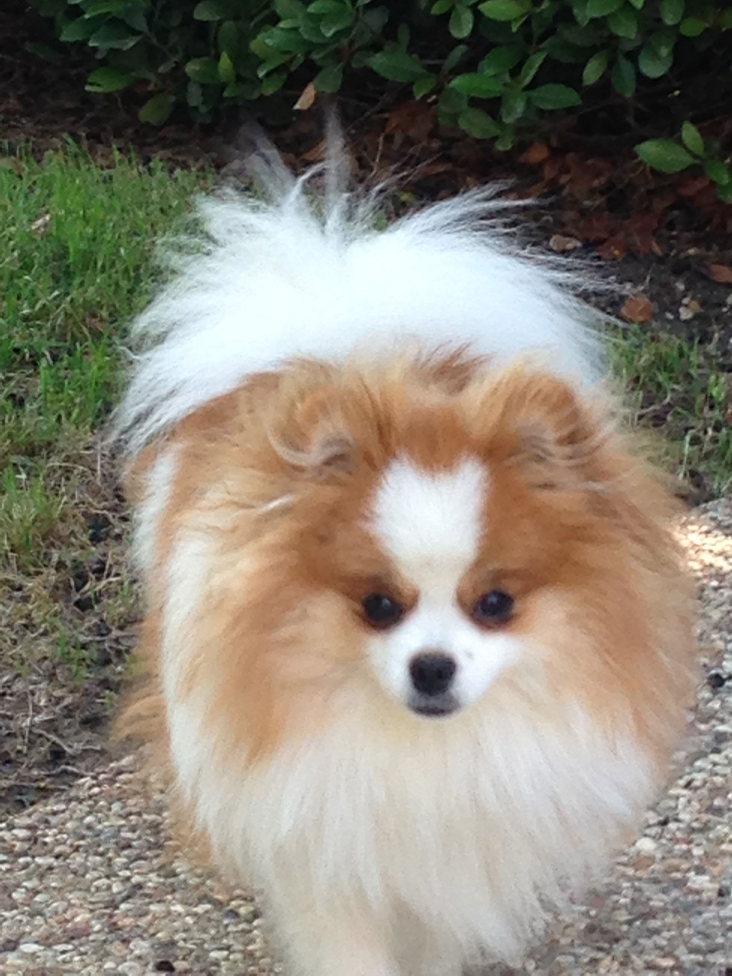 My Riley Toy Dog Breeds Pomeranian Dog Pomeranian Lovers