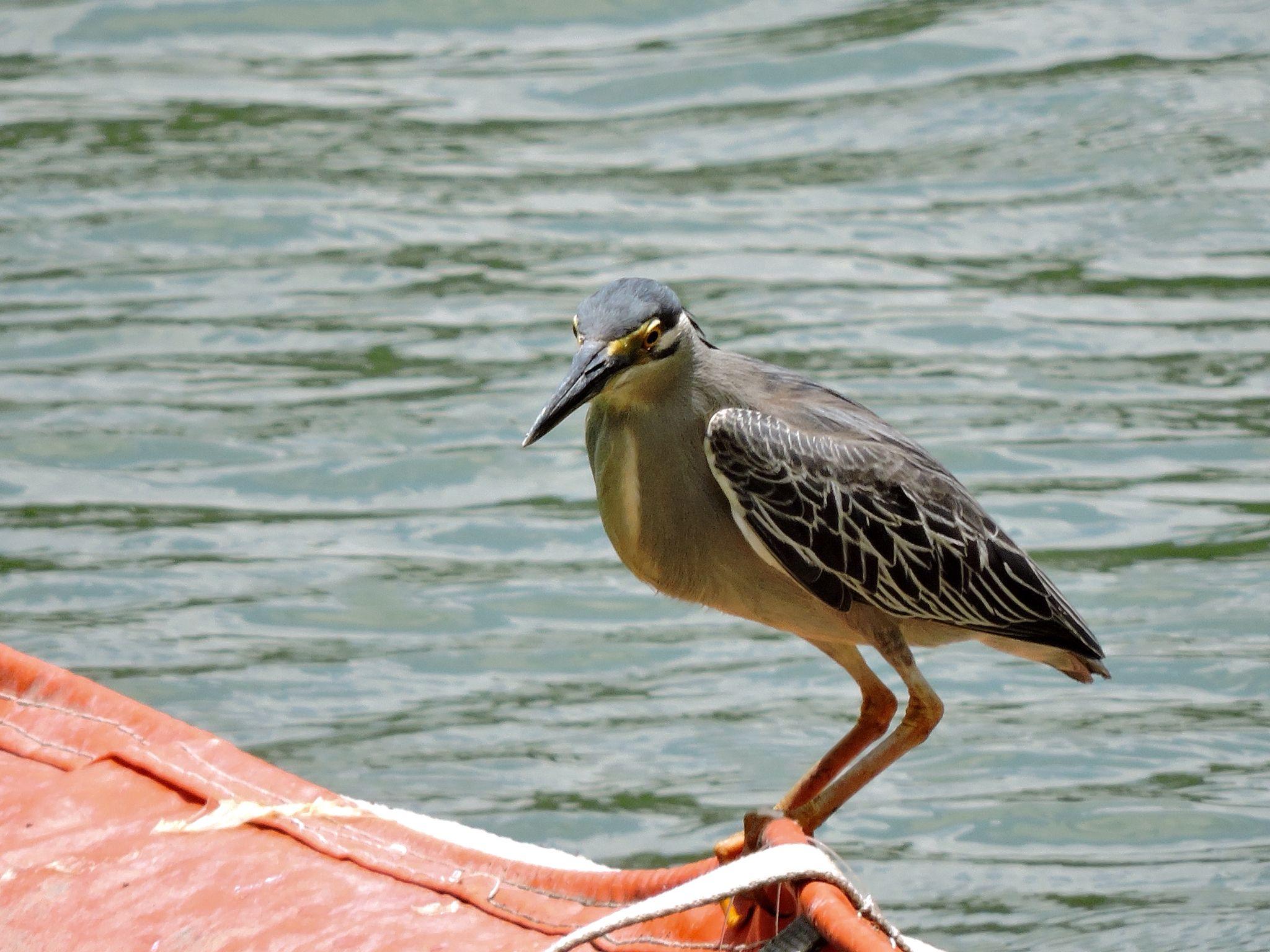 A Striated Heron poised on the boom waiting for its lunch to come by.