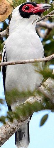 Masked Tityra female