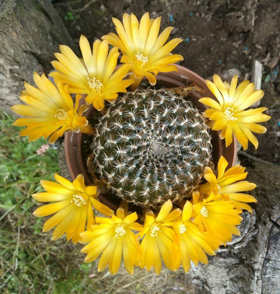 Rebutia arenacea cactus pinterest cactus cacti and succulents