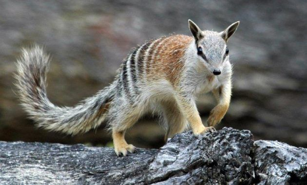 20 Amazing Animals That Start With The Letter N Numbat Animals Animal Facts