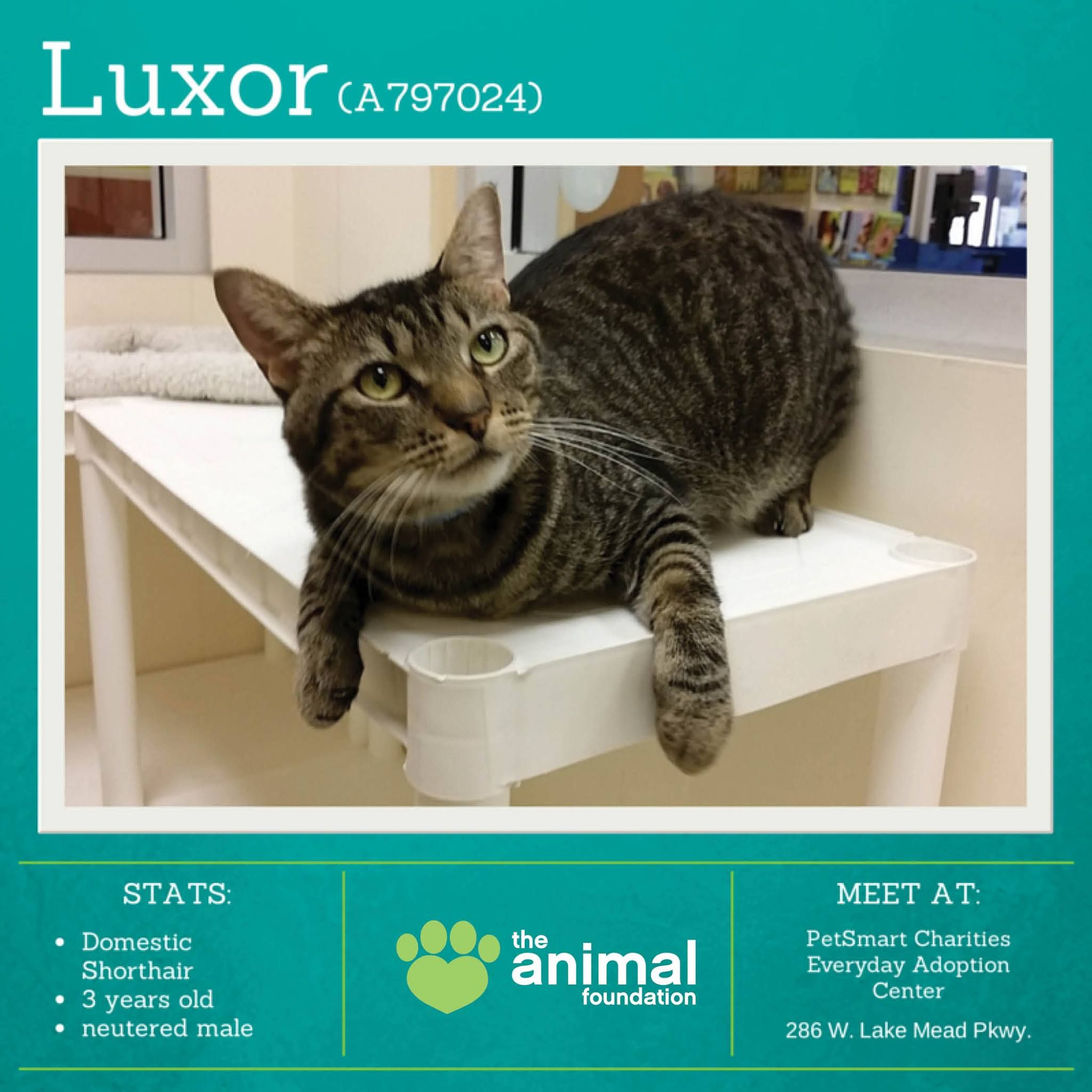 Luxor A797024 Has A Personality As Bright As His Namesake This Playful Sweet Boy Loves Attention And Getting Belly Ru Cat Adoption Adoption Search