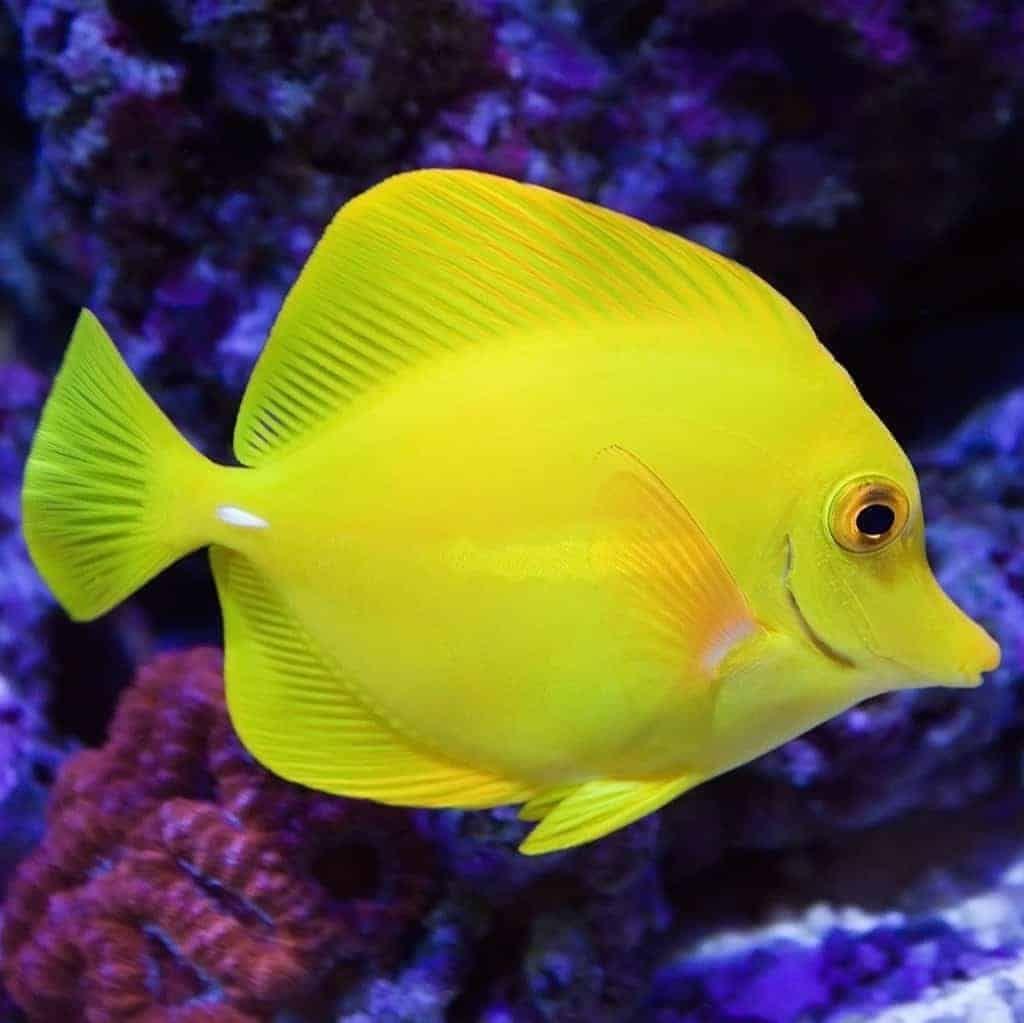 Yellow Tang Zebrasoma Flavescens Tang Fish Aquarium Fish Fish