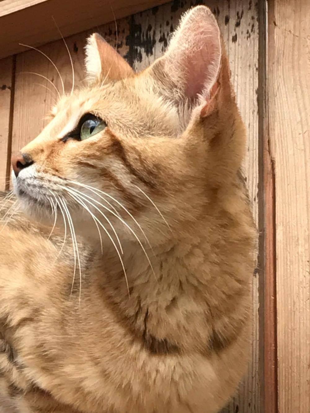 Pin by Jacky Bliss on sand cat hybrids Marguerites