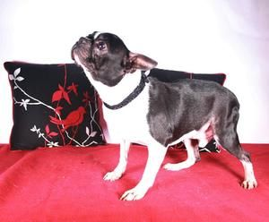 Chance Is An Adoptable Boston Terrier Dog In Alabaster Al Chance