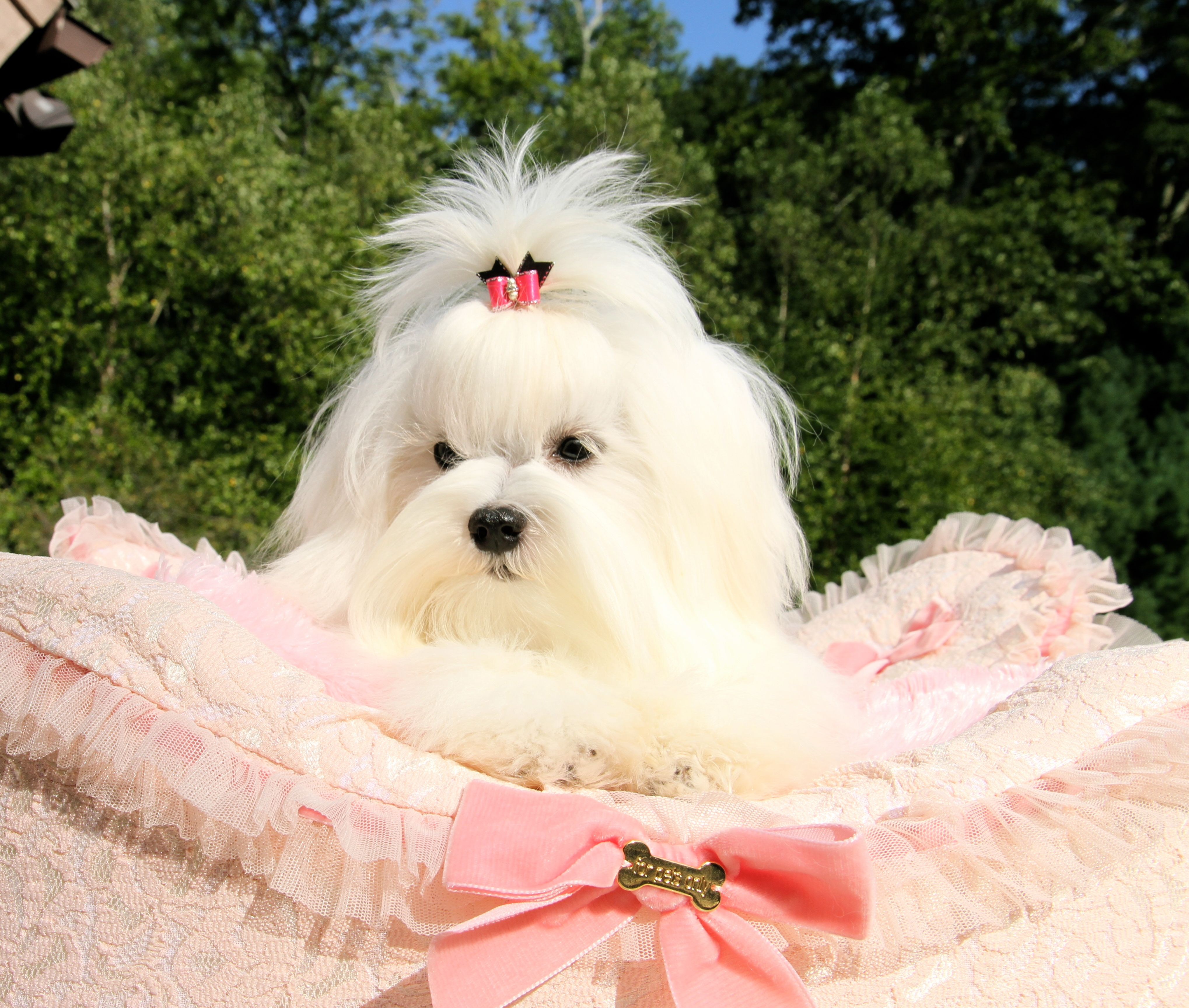 Pin By Melitica Maltese On Melitica Maltese Puppies Cute Dog Pictures Maltese Puppy Cute Dogs Images