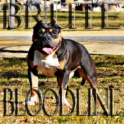 Brute Bloodline Pocket Tri Color Bully Pitbull Breeder Www