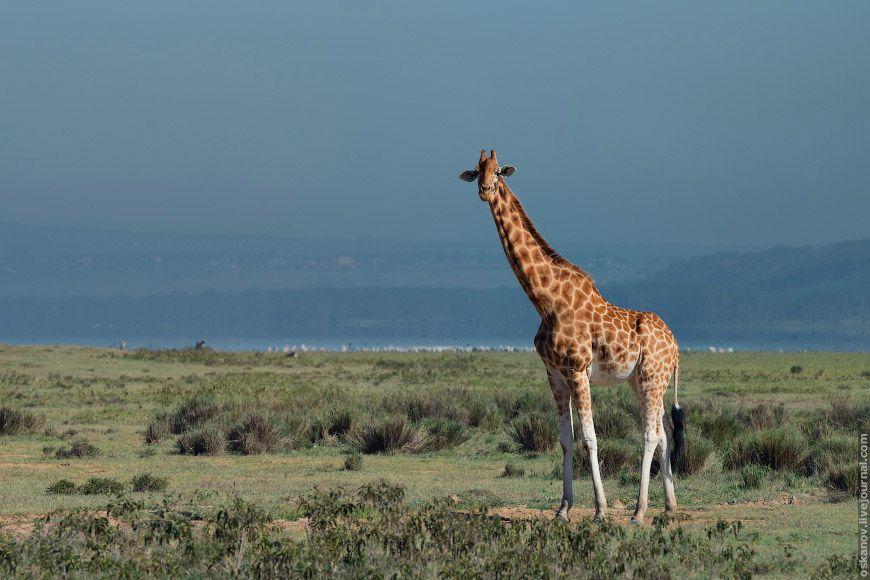 жирафа (Giraffa camelopardalis)