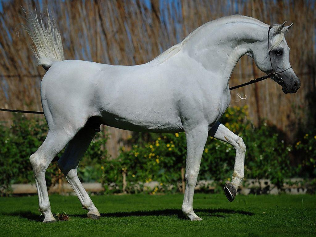صور خيول عربية أصيلة أجمل خلفيات الخيول ميكساتك Beautiful Arabian Horses Horses Arabian Horse