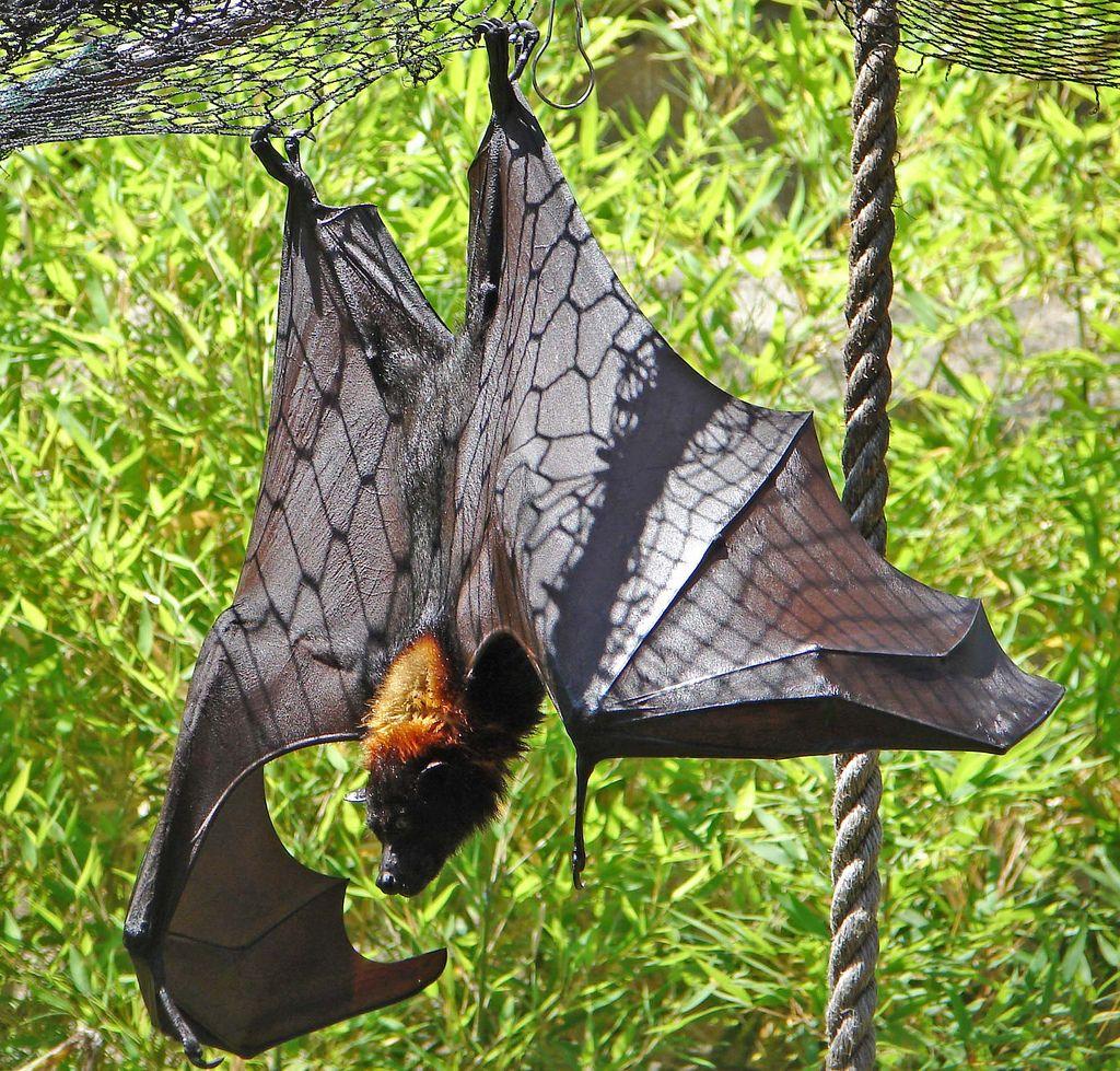 Bat   da Aupurrr