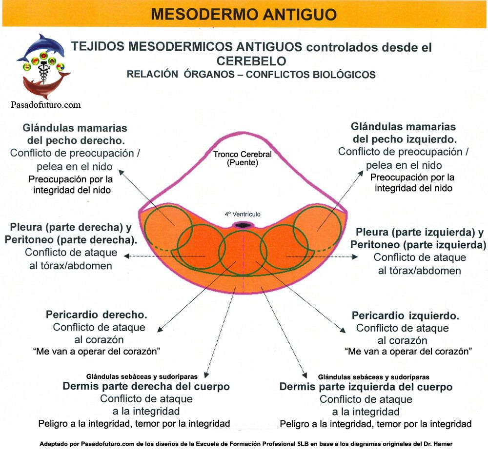 Mesodermo Antiguo Cerebelo Nueva Medicina Germanica Hamer 3ra Ley ...