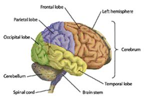 anatomy of the brain, part 1 | healthy living | pinterest, Human Body