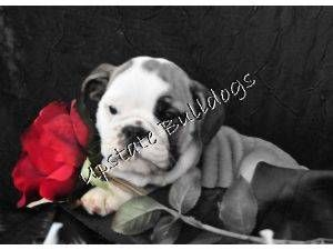 English Bulldog Puppies Contact Upstatebulldogs Yahoo Com For Availability English Bulldog Puppies English Bulldog Bulldog Puppies