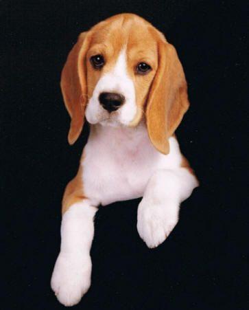 Sweetest Face Of A Beaglet Beagle Puppy Beagle Dog Beagle