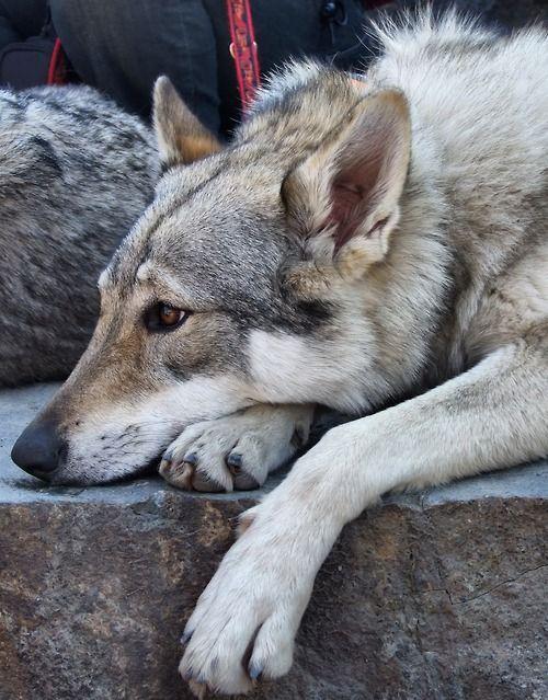 Czechoslovakian Wolfdog Wolf Dog Wolf Hybrid Dogs Tamaskan Dog
