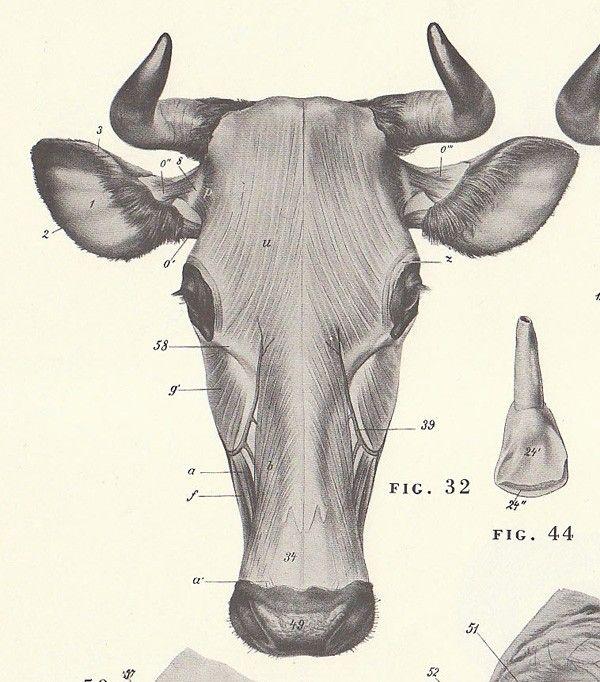 Imagen relacionada | cd carlos | Pinterest | Anatomía animal, Vaca y ...
