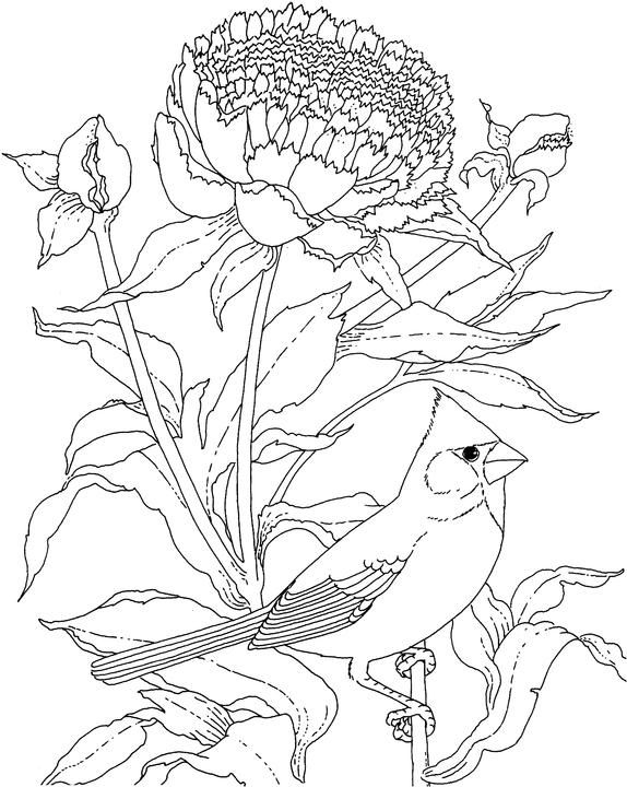 Indiana Cardinal Coloring Page Purple Kitty Bird Coloring