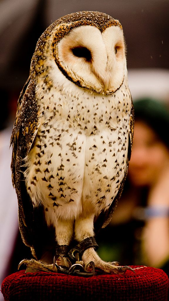 Pinned by McKenna Such a beautiful and wise owl Barn owl
