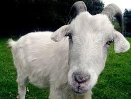 Le prohiben acercarse a cualquier granja del Reino Unido tras mantener sexo con una cabra - Cachicha.com