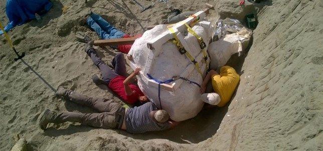 Hallan en EEUU un enorme cráneo de un Tiranosaurio rex de 1,20 metros y más de 1.100 kilogramos