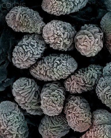 Toxic Mold spores