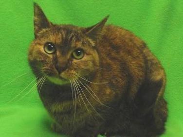 Petango Com Meet Sassy A 7 Years Domestic Shorthair Available For Adoption In Saint Paul Mn Pet Adoption Pets Cat Adoption