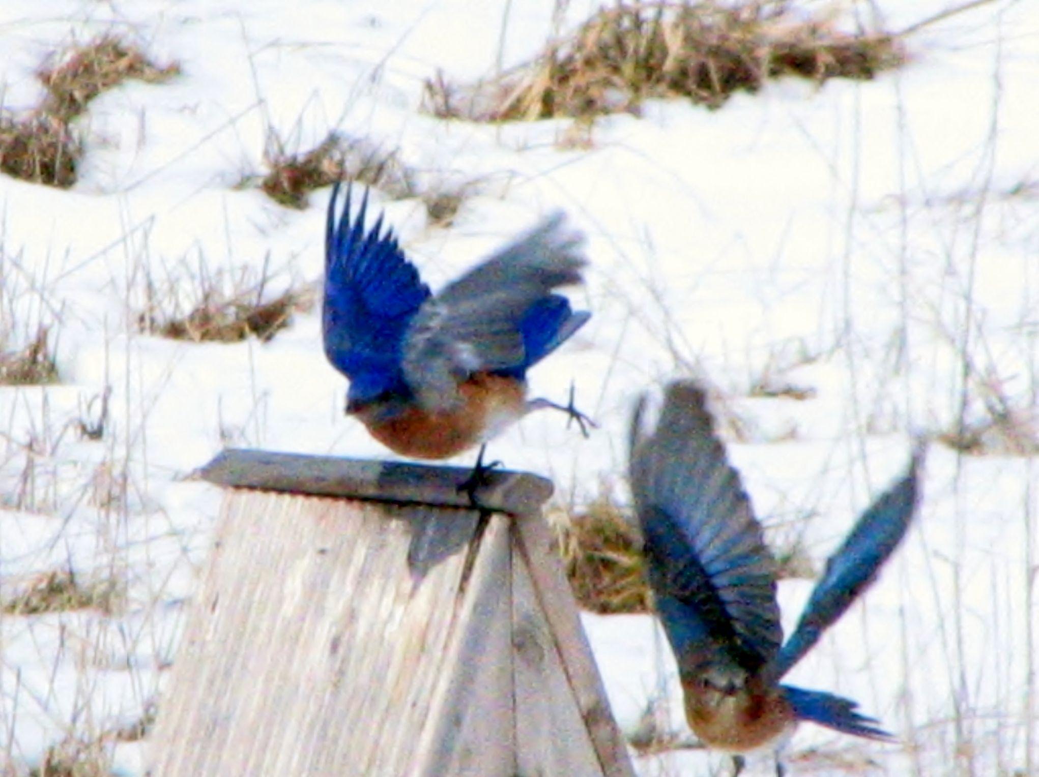 Bluebird pair in March Blue bird, Birds, Animals