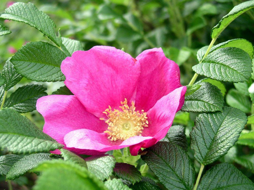 Photo of Rosa Rugosa Rose, Rosa rugosa Pink, Frø (hardfør, rask, velduftende, spiselig) | eBay