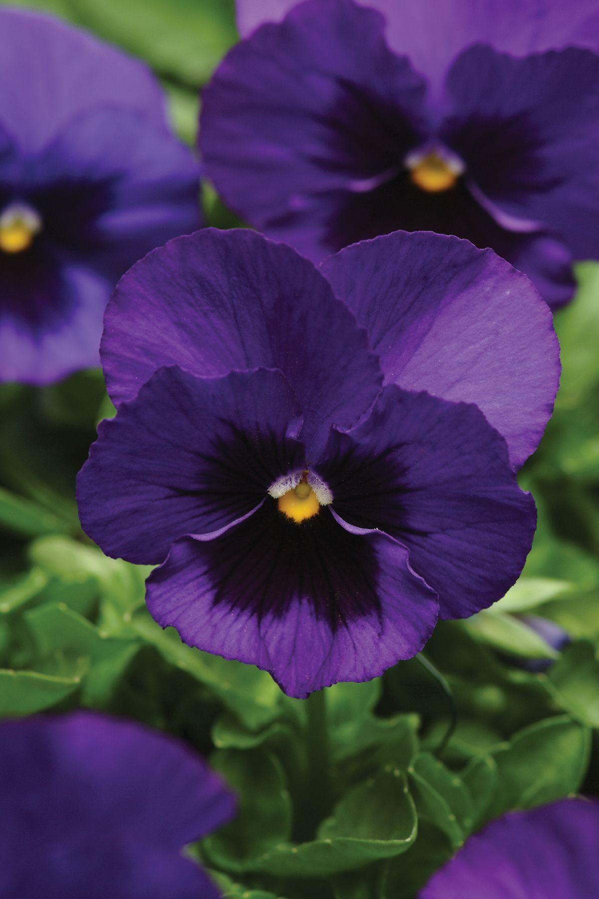 Deep Purple Pansy Pansies Flowers Beautiful Flowers Purple Pansy
