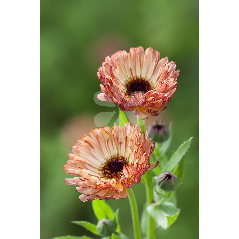 Calendula officinalis 'Sunset Buff' is the soft buff