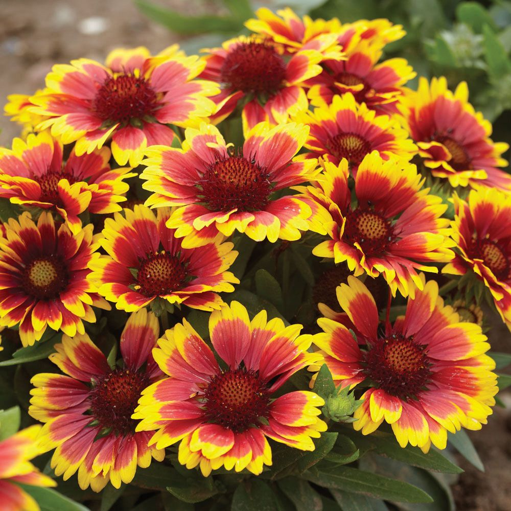 Gaillardia Arizona Sunblanket Flower Outdoor Ideas Pinterest