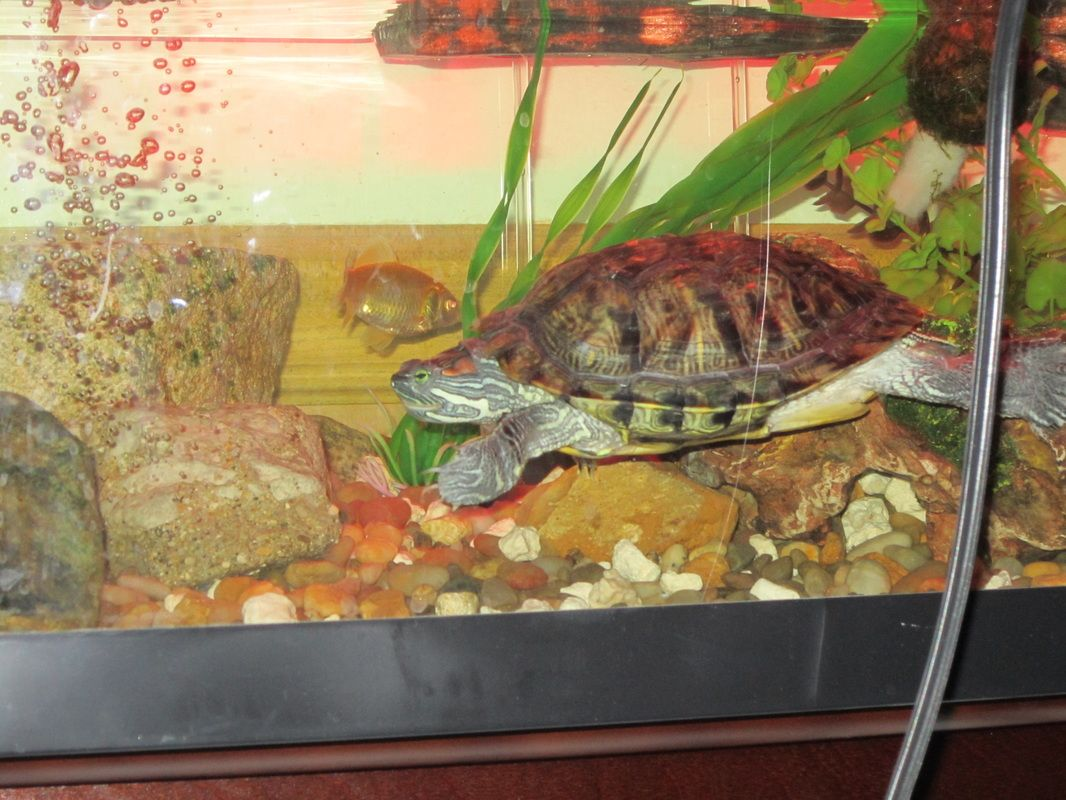 Tank mates for your turtle b h 39 s turtle site pets for Fish tank turtles