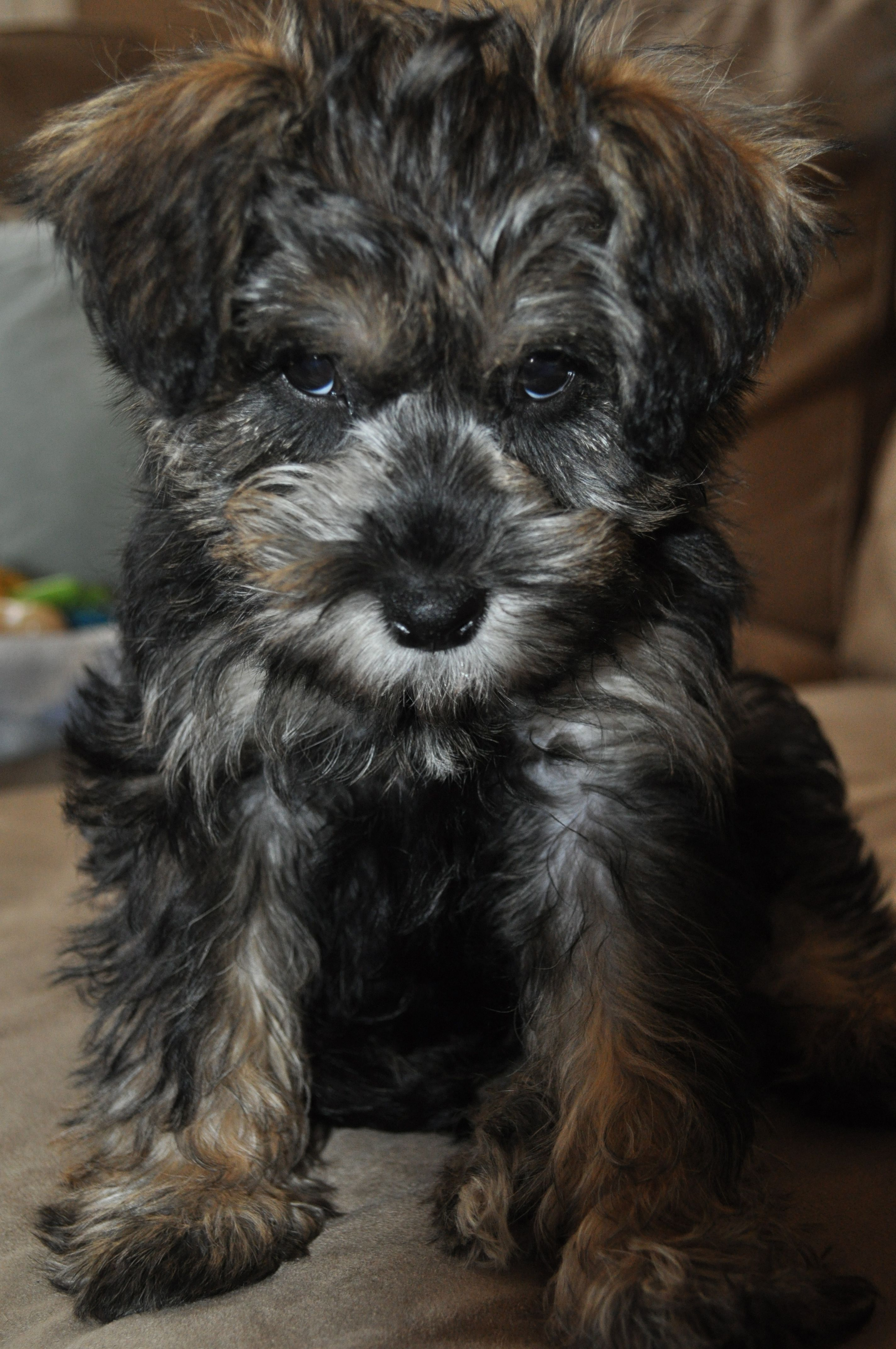 Baby Bella Mini Schnoodle Taken By K Tomic Schnoodle Mini