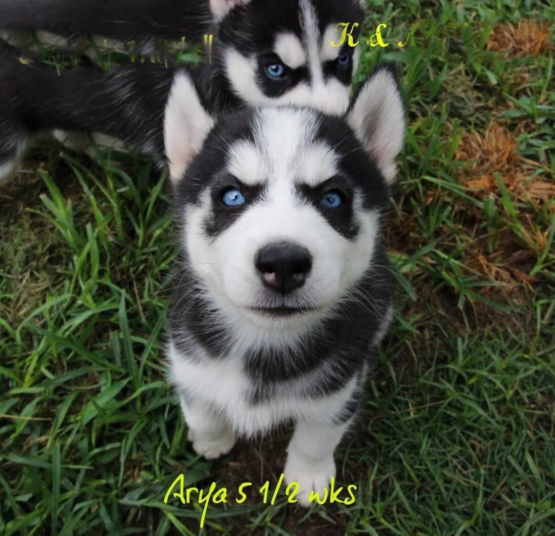 Pupdate Arya At 5 1 2 Weeks Https Ift Tt 2so5foq Siberian