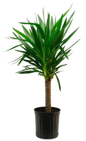 Costa Farms Yucca Cane In 8 75 In Grower Pot 10yc1 The Home Depot Yucca Plant Care Yucca Plant Indoor Floor Plants