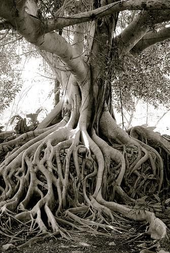 tree roots, trunk, and branching