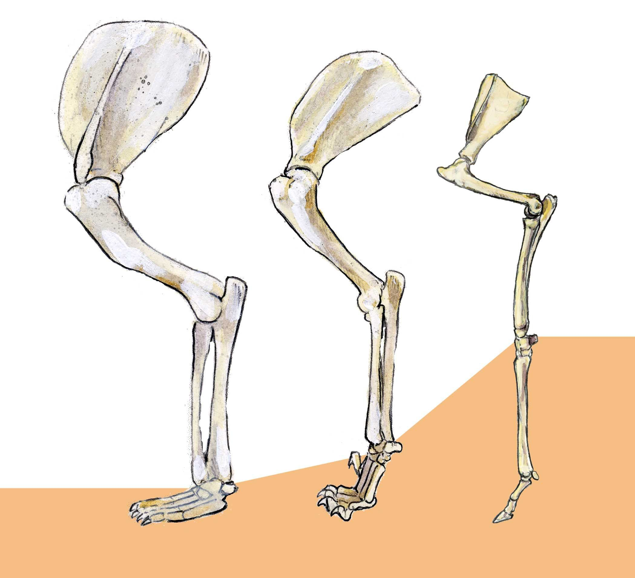 How to Draw Mammals: comparative anatomy of the legs | bones ...